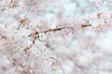 spring-flowers-stroll-cherry-blossom-71859.jpeg